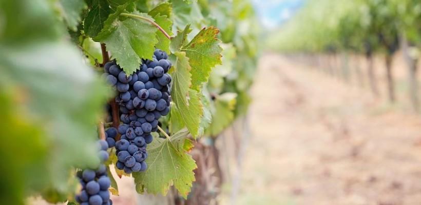 Mjera Restrukturiranje i konverzija vinograda