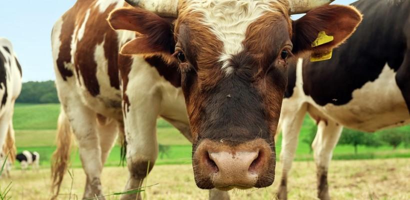 """Natječaj za tip operacije 4.1.1 """"Restrukturiranje, modernizacija i povećanje konkurentnosti poljoprivrednih gospodarstava"""" – tovno govedarstvo"""