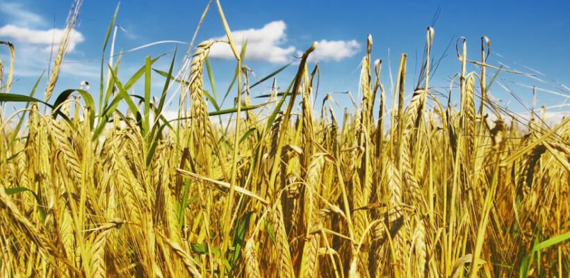 Rye field in a suuny day with dark blue sky