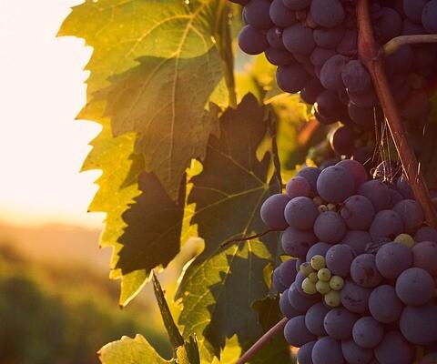 Restrukturiranje i konverzija vinograda iz Nacionalnog programa pomoći sektoru vina 2019.-2023.